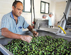 La production d'olives atteindrait 1,56 million de tonnes, un record historique