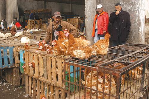 Selon les chiffres de l'Association nationale des producteurs des viandes de volailles (APV), le secteur de l'aviculture a réalisé en 2014 un chiffre d'affaires de 19,4 milliards de dirhams (MMDH) et des investissements de l'ordre de 7,4 MMDH. Au-delà des chiffres, ce secteur revêt une dimension sociale très importante.