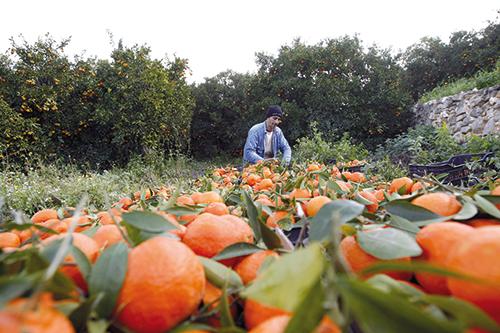 clementine-maroc
