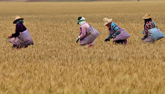 De nouveaux prix et de nouveaux droits de douane pour encourager la commercialisation du bl   Marocain