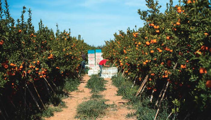 Le Maroc troisi  me exportateur mondial de mandarines